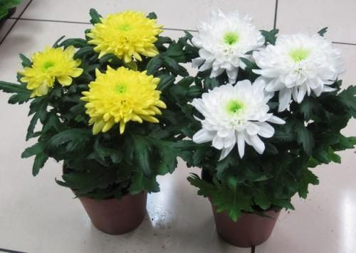 Кімнатна хризантема: як доглядати, умови вирощування та розмноження