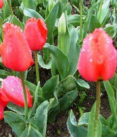 Огірки на підвіконні: вирощування і догляд