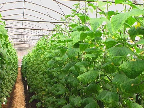 Овочі на підвіконня: баклажани, суниця