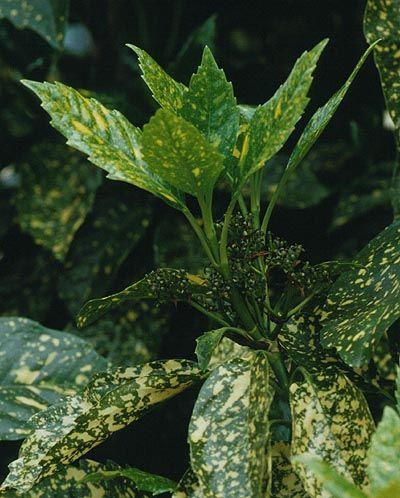 Кімнатна рослина аукуба, догляд за квіткою