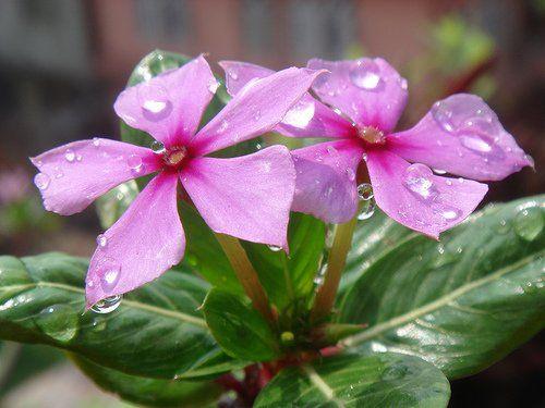 Кімнатна рослина барвінок рожевий
