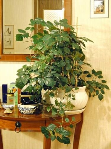 Кімнатна рослина берізка і догляд за нею