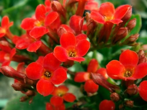Кімнатна рослина каланхое