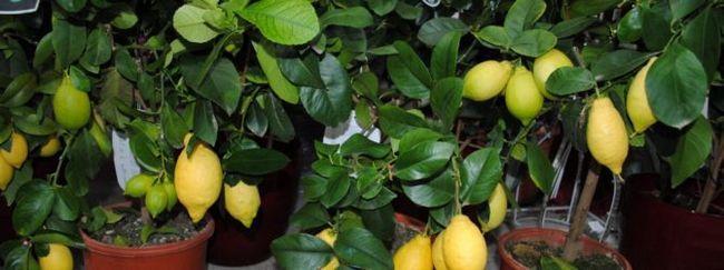 Кімнатна рослина лимон