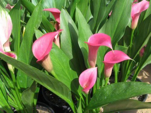 Кімнатні квіти кала: умови утримання