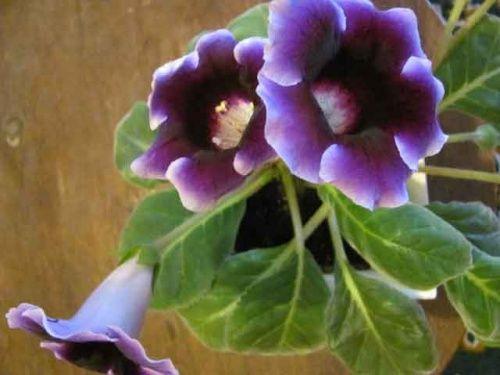 Глоксинія кімнатна квітка