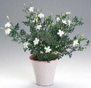 Жасмин домашній: види рослини