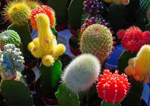 кімнатні кактуси і їх види