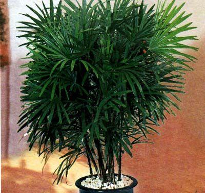 Кімнатні пальмові квіти: основні правила утримання і догляду