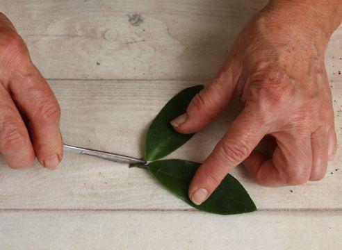 Розмноження заміокулькаса живцюванням. Відокремлюємо листочки з черешком.