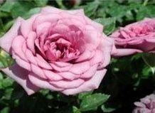 Кімнатні троянди. Сучасні мініатюрні троянди (частина 2).