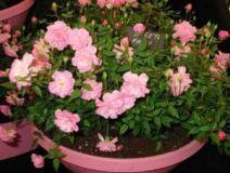 Кімнатні троянди, як їх вирощувати