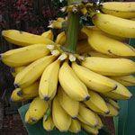 Кімнатний банан