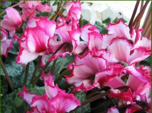 Кімнатний квітка цикламен. Особливості догляду