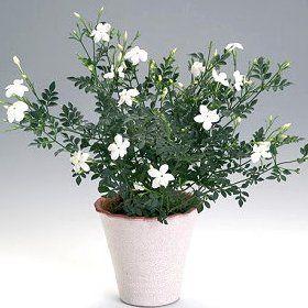Кімнатна квітка жасмин
