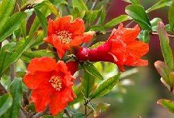 цвітіння граната