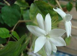 Кімнатний жасмин: гідний догляд за ароматною ліаною