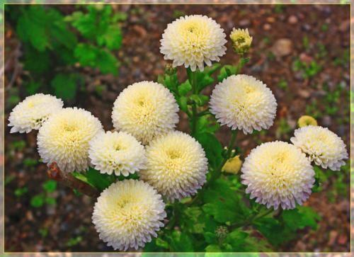 Корейські кулясті хризантеми і букетний хризантеми