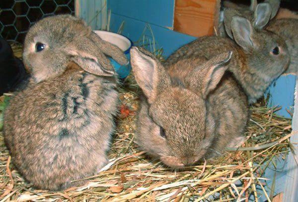 Кроленята в клітці