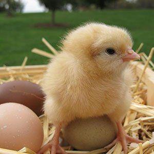 У віці трьох днів курчатам починають давати подрібнену траву