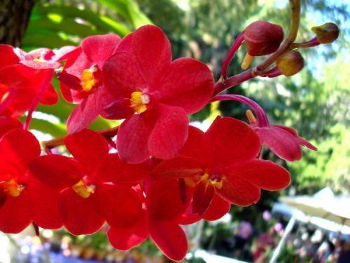 Королева всіх кольорів - червона орхідея