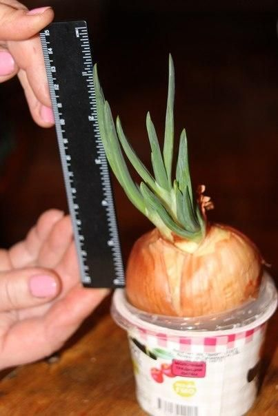 Космічний експеримент на вашому вікні, вирощуємо цибулю на гідропоніці.