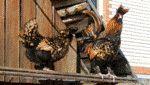 Котляревская порода курей - і вигідно, і смачно