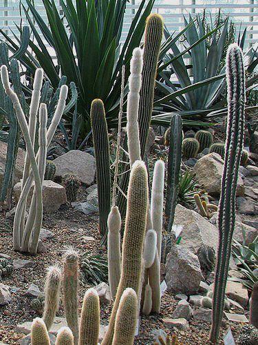 Красиві кактуси і сукуленти в композиціях