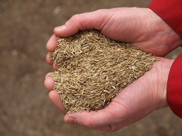 Скільки насіння потрібно для газону?