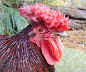 Красношапочний кури - рідкісна англійська порода