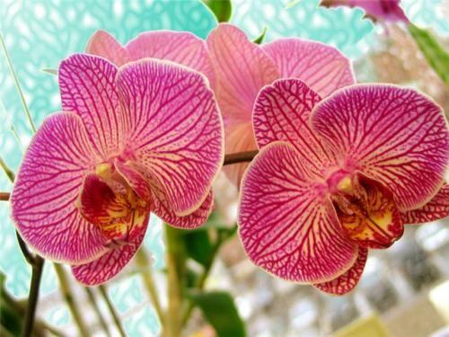 Красуня орхідея