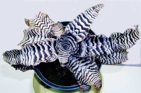 Кріптантус поперечно-смугастий