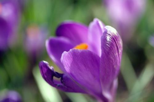 Крокуси квіти - вирощуємо прянощі