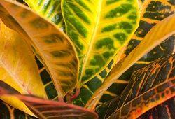 Кротон - елегантний квітка з строкатим листям