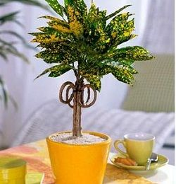 кротон рослина