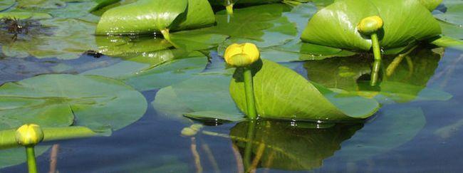 Кубишка: опис, розмноження, догляд, посадка, застосування в саду, фото, сорти і види