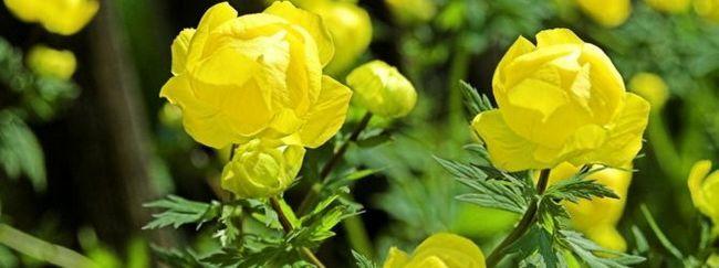 Купальниця (купава, тролліус: опис, розмноження, догляд, посадка, застосування в саду, фото, сорти і види
