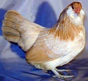 Кури сібрайт - мініатюрні красені з завзятим вдачею
