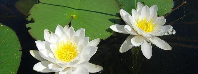 Латаття: опис, розмноження, догляд, посадка, застосування в саду, фото, сорти і види