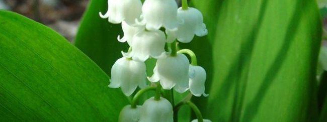 Конвалія: опис, розмноження, догляд, посадка, застосування в саду, фото, сорти і види