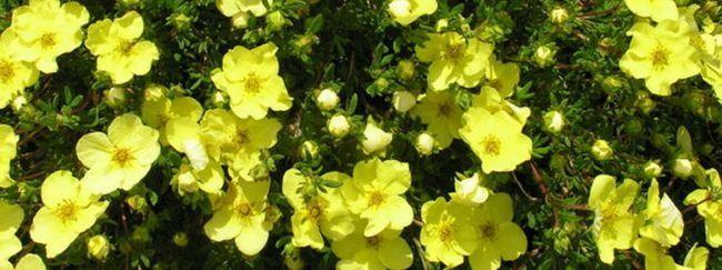 Перстач (курильське чай: опис, розмноження, догляд, посадка, застосування в саду, фото, сорти і види