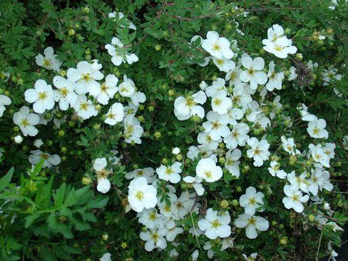 Перстач кустарніковая- аптека в вашому саду