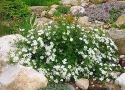 Перстач в саду: догляд і обрізка