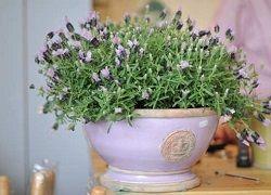 Лаванда з бездоганним ароматом: вирощування в домашніх умовах