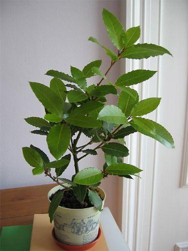 Лавр благородний - корисне кімнатна рослина