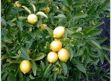 Лікувальні властивості лимона