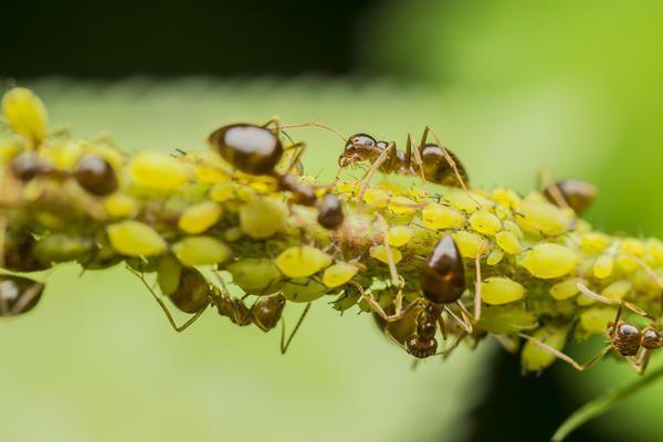 Гнізда бурих мурах скромніше, всього до 4 тисяч насельників