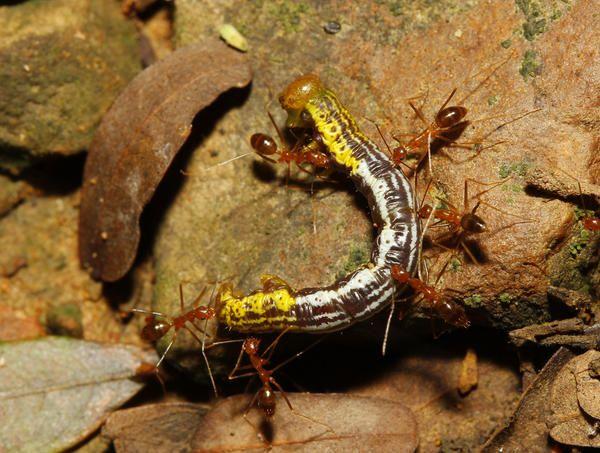 Особливо люблять гусениць шовкопрядів, яблуневої молі- можуть їх з самих верхніх пагонів забирати