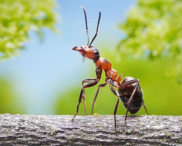 Ледарі і роботяги мурашника