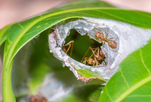 Південноафриканські мурахи-екофіли своє гніздо споруджують з склеєних листочків